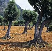 Olive trees on Majorca