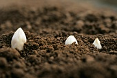White asparagus tips peeping through the soil