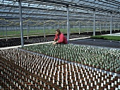 Growing herbs in a greenhouse