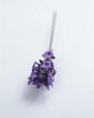 Lavender with flowers