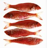 Fünf Rotbarben