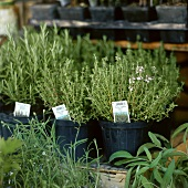 Fresh thyme in pots at the market