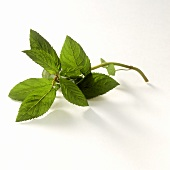 A sprig of peppermint