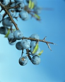 Sloes on a branch