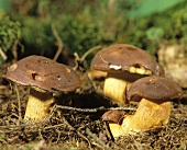 Bay bolete in a wood
