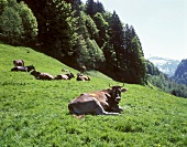 Cows in a mountain pasture