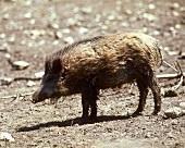 Wild boar in open air