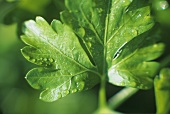 Parsley with drops of water