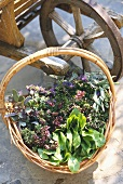 Various fresh herbs in basket in front of wheelbarrow