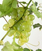 Green grapes with drops of water on branch