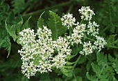 Sweet cicely with flowers (Myrrhis odorata)