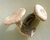 Two Blewits mushrooms