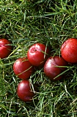 Plums in a meadow