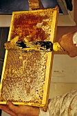Honey being scraped out of honeycomb with knife