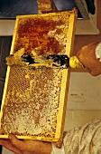 Honig wird mit Messer aus Honigwabe geschabt
