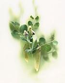 Yellow mangetouts on the plant
