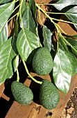 Australian avocados on stalk