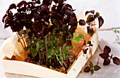 Red shiso in a box