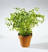Chervil in flowerpot