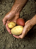 Hands holding freshly harvested potatoes