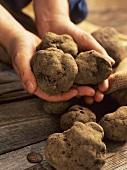 Hands holding black truffles
