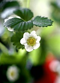 Strawberry flowers on the plant