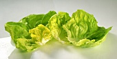Fresh lettuce leaves