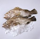 Fresh grouper on crushed ice