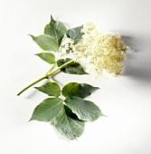 Sprig of elderflowers and leaves