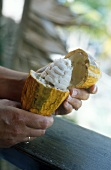 Hands holding cacao fruits with cocoa beans