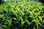 Tea plants (India; filling the picture)