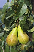 Pears (Concord variety) on the tree