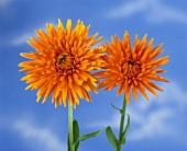 Marigolds against blue sky