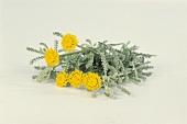 Cotton lavender with flowers (Santolina chamaecyparissus)