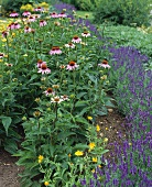 Purple coneflower, lavender and marigolds in herb garden