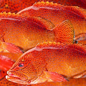 Fresh strawberry perch (filling the picture)