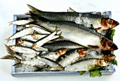 Fresh herrings, sardines and sprats in a crate