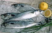 Fresh mackerel on ice with lemon and chives