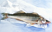 Fresh pike-perch on paper