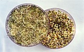 Mung bean sprouts and alfalfa sprouts in sprouting box