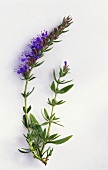 Hyssop with flowers