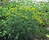 Rue (Ruta graveolens) in herb garden