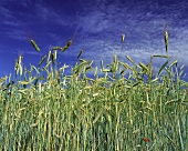 Rye Field Under a Bright Blue Sky