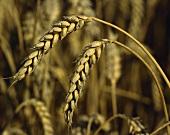Weizenähren im Feld
