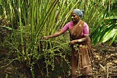 Indian woman picking cardamom seed capsules from plant