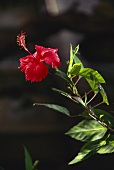 Red-flowered Hibiscus