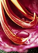 Radicchio with drops of water (detail)