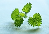 Young nettle leaves