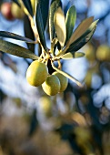 Green olives on the tree