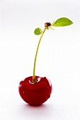 Sour cherry with large drops of water